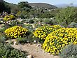 Karoo gardens flowering shrubs