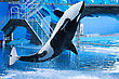 Killer Whale Jumping Out Of The Water. stock image
