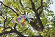 Kite Caught In A Tree, And Blown By The Wind. stock photography