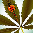 Ladybugs On Cannabis Leaf,  Image Contains Clipping Mask And Transparency