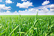 Landscape- Green Grass, The Blue Sky And White Clouds