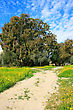 Landscape With Path,eucalyptus And Mimosa Trees,cloudy Sky,yellow Daisies