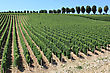 Landscape With Rows Of Twenty In A Vineyard View stock photo