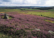 Landscape with Blooming Heather stock image