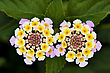 Lantana Camara Flovers Macro stock photo