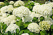 Blooming Large White Blossoms Of Hydrangea In The Park stock photography