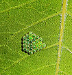 Insects Laying Of Insect Eggs On A Green Leaflet stock photography