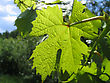 Leaf Of Grape Glowing In Sunlight