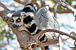 Alert Lemur Sitting On A Tree Rolling Up Tail Ring stock photography