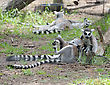 Lemurs And Their Baby In The Zoo