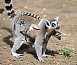 Tail Lemurs And Their Baby In The Zoo stock photography