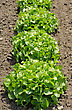 Lettuce, Bright Green Plants In The Garden stock photo