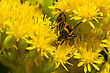 Lightning Bug Crawling On A Yellow Flower stock photography