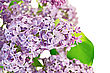 Lilac Flowers With Green Leaves stock image