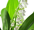 Lily Of The Valley, Close Up stock image