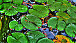 Lily Pads In A Calm Reflection Pond stock image