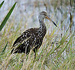 Limpkin Bird Feeding In The Early Morning stock photo