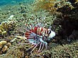 Lionfish (pterois) On Coral Reef Bali stock photo