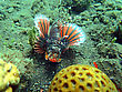 Lionfish (pterois) On Coral Reef Bali stock photography