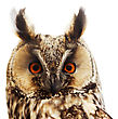 Long-eared Owl Portrait, Isolated On White stock image
