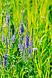 Long Spike Inflorescence Blue Wildflowers On A Background Of Green Grass
