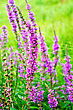Long Spike Inflorescence Of Pink Wild Flowers On A Background Of Green Grass stock photo