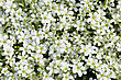 Lot Of Fresh White Flowers For Background stock photography