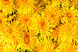 Lot Of Fresh Yellow Flowers Dandelions For Background stock image