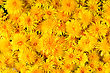 Lot Of Fresh Yellow Flowers Dandelions For Background stock photo
