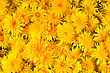 Lot Of Fresh Yellow Flowers Dandelions For The Background stock photo