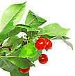 Lot Of Cherrys With Stem. Isolated stock photo