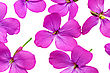 Lot Of Violet Flowers.Closeup On White Background. Isolated stock photo