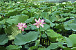 Lotus Flower Plants stock image