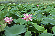 Lotus Flower Plants stock photo