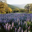 Lupines In A Wooded Meadow, Autumnal Hills stock image