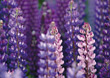 Flowers Lupins stock photography