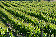 Lush Summer Growth On A Vineyard Near Nelson, New Zealand stock image