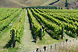 Lush Summer Growth On A Vineyard Near Nelson, New Zealand stock photo