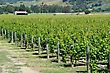 Lush Summer Growth On A Vineyard Near Nelson, New Zealand stock photography