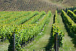 New Zealand Lush Summer Growth On A Vineyard Near Nelson, New Zealand stock photo