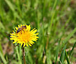 Macro Bee On Yellow Dandelion Flower stock photography