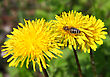 Macro Bee On Yellow Dandelion Flower stock photo