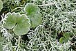 Macro Of Frosty Plant Leaves In Late Fall stock photo