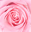 Macro of Pink Rose stock photo