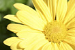 Macro of Yellow Gerbera stock photo