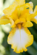 Macro of Yellow Iris stock photography