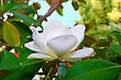 Magnolia White Flower On Tree stock photography