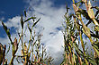 Maize Crop Damaged By Cyclonic Winds A Day Before Harvest, Westland, New Zealand stock image