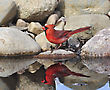 Male Northern Cardinal Sitting On A Stone By The Pond stock photo