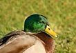 Sunny Mallard Duck stock photography